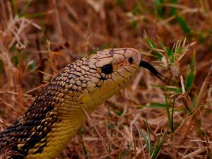 """Brother"", one of the Louisiana Pine Snake ambassadors at Black Bayou Lake National Wildlife Refuge."