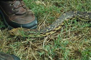 Pine snake in the grass