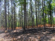 Controled burn of understorey in native Long-leaf Pine forest at Kisatchie National Forest. K.Paxton image