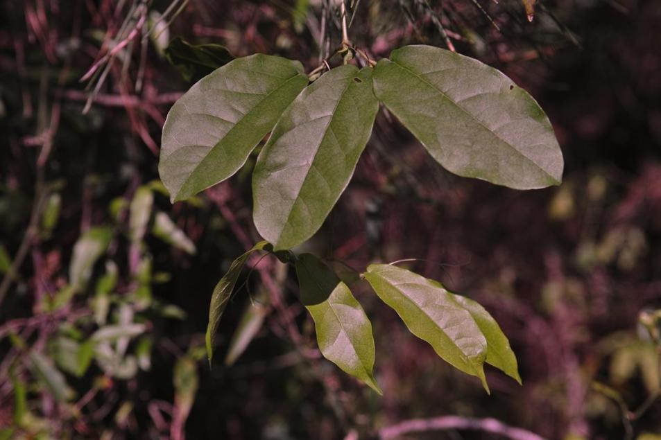 Leaves of a Cross Vine, Bignonia capreolata