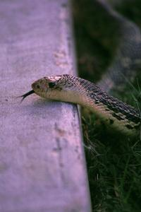 Louisiana Pine snake mounting a curb