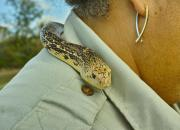 Louisiana Pine snake on Ranger Nova Clarke's shoulder, Pituophis ruthveni at Black Bayou Lake NWR, Monroe Louisiana.