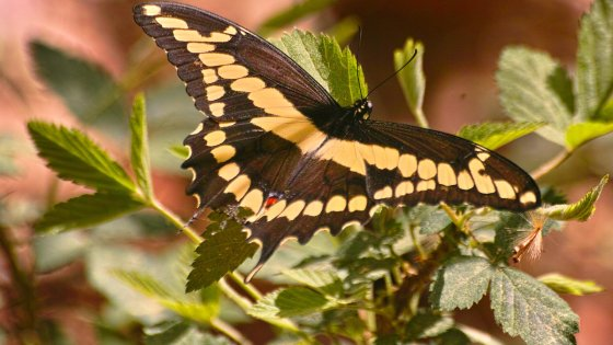 Giant Swallowtail butterfly. Learn how to integrate native plantings in gardening.