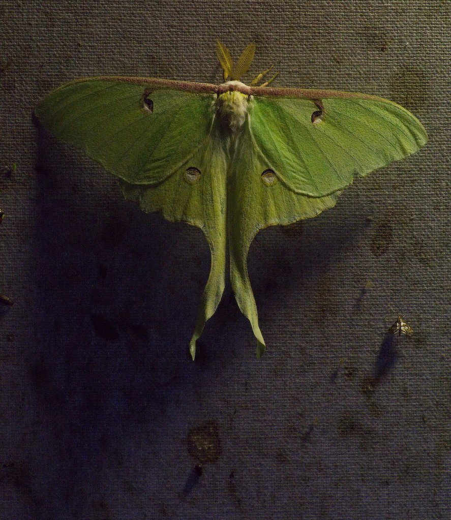 This exquisite Luna Moth was one of thousands of insects drawn to Dr. Allen's lit sheets.