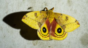 You can stand eye-to-eye with a handsome Io moth, Automeris io at Allen Acres! Image C. Paxton