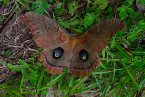 An enormous Polyphemus moth at Allen Acres. With prodigious plant diversity comes broad animal diversity! long known for its biodiversity, Allen Acres is celebrating the identification of its 711th moth species! The July bioblitz is expected to be rather promising!