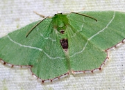 Red-patched Emerald (Nemoria saturiba) Bette Kauffman image and copyright.