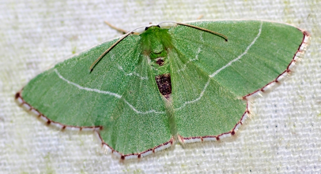 Red-patched Emerald (Nemoria saturiba)