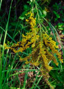 Goldenrod with Love bugs by the Rewdwine creek, Louisiana!