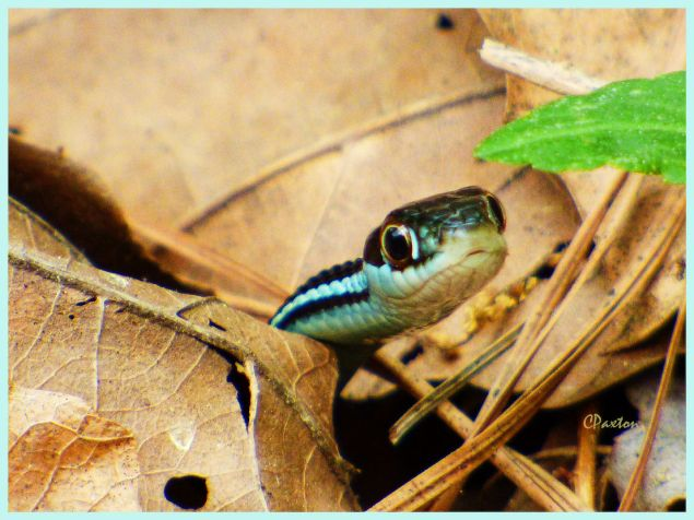 A young Western Ribbon Snake peeking from out of the leaf litter at Crawfish Springs, near Farmerville Louisiana. C. Paxton image and copyright.