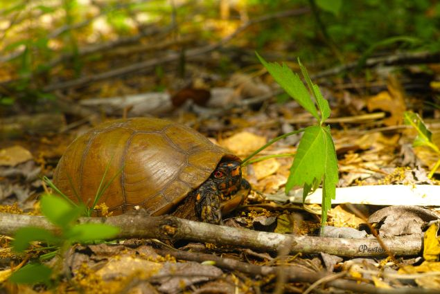 An Eastern, Three-toed Box Turtle in the leaf litter at Crawfish Springs, near Farmerville Louisiana. C. Paxton image and copyright.