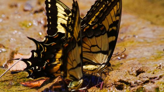 Not leaves, but Giant Tiger Swallowtails.