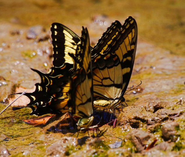 Not leaves, but Giant Tiger Swallowtails puddling for minerals by Gourd Bayou in the Russell Sage WMA near Monroe, Louisiana.  C. Paxton image and copyright.