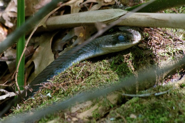 This Racer, Coluber constrictor, is about to shed beside the path alongside Rainey Lake in Tensas River NWR, near Tallulah, Louisiana.  C. Paxton image and copyright.