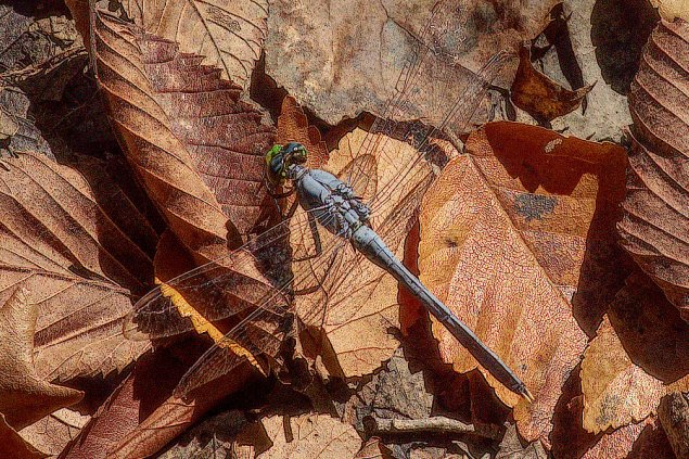 There are many blue and green dragonflies flitting about and settling in their own territories among the forest trees at Black Bayou Lake NWR, Monroe, Louisiana. C. Paxton image and copyright.