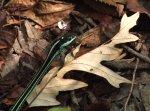 Western Ribbon Snake enjoying lunch of Cricket frog at Black Bayou Lake NWR