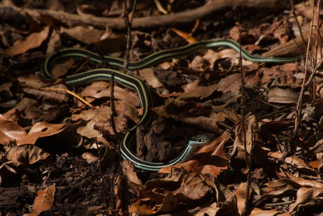 Western Ribbon Snakes can often be seen hunting frogs and crickets in the leaf litter in northeastern Louisiana. Black Bayou Lake NWR is one of the best places to see them.