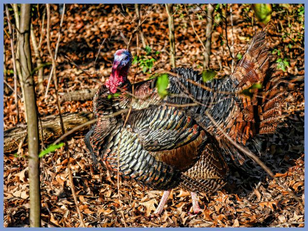 Tom turkey looking splendid at the excellent Louisiana Purchase Gardens and Zoo in Monroe, Louisiana. C. Paxton image and copyright.