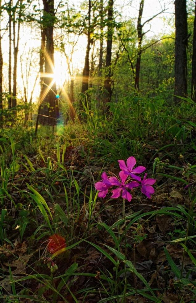 Sunset with native Phlox at Crystal recreation area Arkansas.