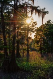 Sunlight diffracting through Bald Cypress foliage. This Savannah is beloved by Blue and Painted buntings, Cardinals and White throated sparrows. C.Paxton image and copyright.