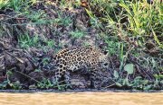 A young male jaguar in the Pantanal region of Brazil. Midori Paxton image and copyright.