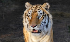 Image of a tiger for your desktop in 2019 to divert the Duke Boar.