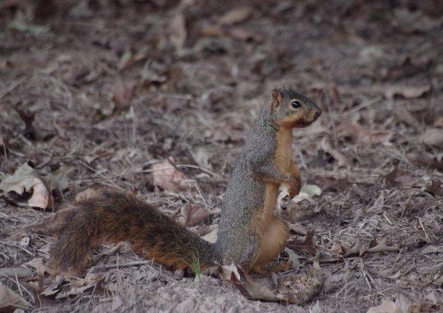 A pretty Chuckledhead or Eastern Fox Squirrel (Sciurus niger).