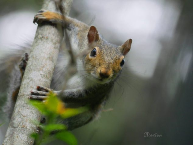 Which squirrel is this?