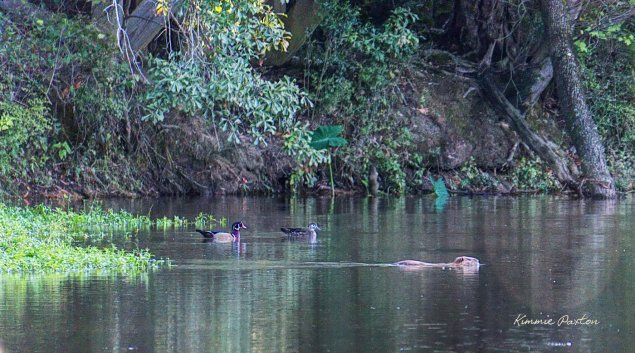 Wood ducks and beaver at West Monroe's Restoration Park. Kimmie Paxton image and copyright.