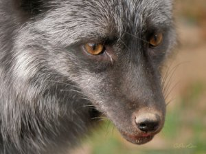Red Fox and Grey Fox at Monroe's excellent Louisiana Purchase Gardens and Zoo. C.Paxton images and copyright.