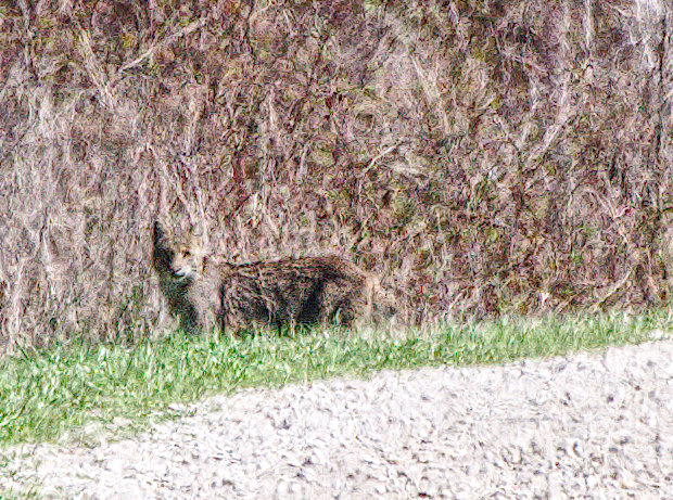 Eastern Bobcat, Lynx rufus, on the Greenleas Safari drive at Tensas River NWR near Tallulah, Louisiana.
