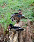 "A hen wood duck quacking at a spare drake on a log. ""Hey, Woody, get off our perch!"" Winning entry by Connie Guillory"