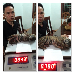 A pair of frozen tiger cubs murdered to supply the illegalwildlife trade.  ENV images combined. ENV copyright.
