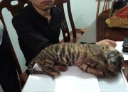 One of a pair of frozen tiger cubs confiscated in the 'sting' operation. ENV image and copyright.