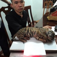 Pair of Frozen Tiger Cubs Seized in Wildlife Crime Bust by ENV and Police