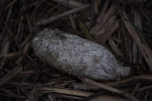 Calcium rich white Coyote dropping found nearby.
