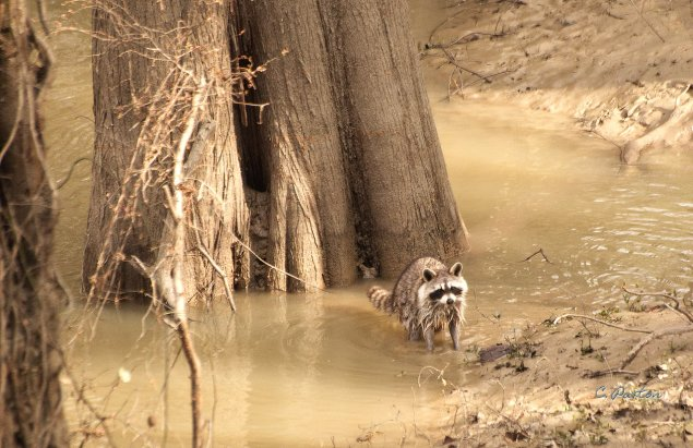 Common Raccoon in the Tensas River at Tensas River National Wildlife Refuge, Louisiana. C.Paxton image and copyright.