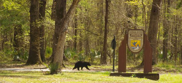 Louisiana Black Bear (Ursus americanus luteolus) can be seen in and around Tensas River National Wildlife Refuge in Madison Parish.C. Paxton image and copyright.