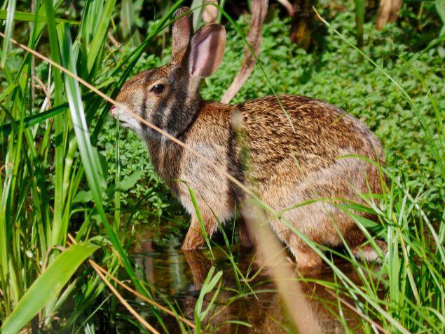 The 'Swamper' Sylvilagus aquaticus, likes water and has cinnamon facial fur. C. Paxton image and copyright.