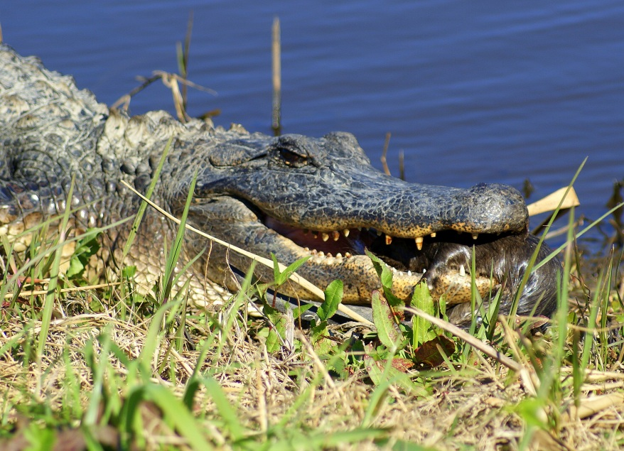 12 foot alligator eating a musk rat Sabine National Wildlife Refuge., image and copyright Bob Rogers