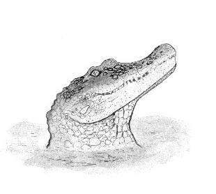 Emily Caldwell's excellent sketch  of the American alligator, Alligator mississippiensis
