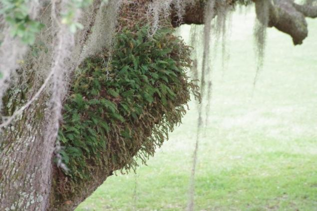 Spanish moss and resurrection ferns grace the enormous old live oak behind the lecture hall.