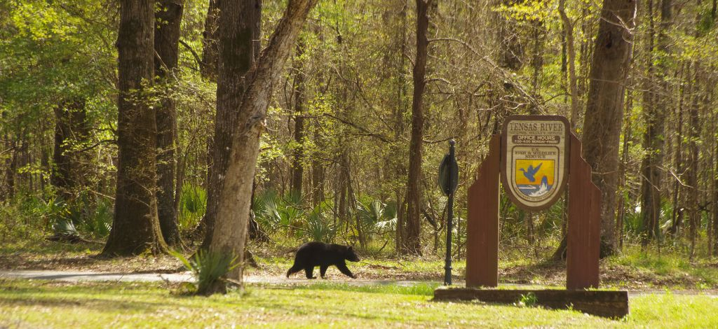 """Louisiana Black Bear, Ursus americanus luteolus, in Tensas River Wildlife Management Area. Global Biodiversity Day 2019 is themed on """"Our Biodiversity, Our Food, Our Health""""."""