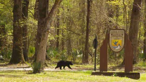 "Louisiana Black Bear, Ursus americanus luteolus, in Tensas River Wildlife Management Area. Global Biodiversity Day 2019 is themed on ""Our Biodiversity, Our Food, Our Health""."