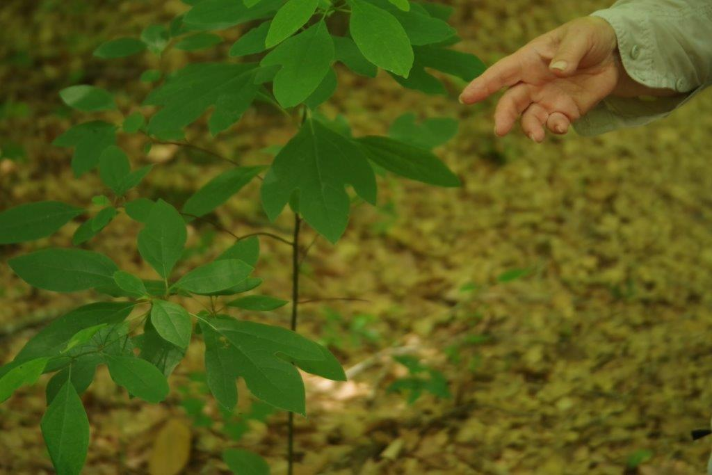 Wild Sassafras is used to make Cajun File spice.