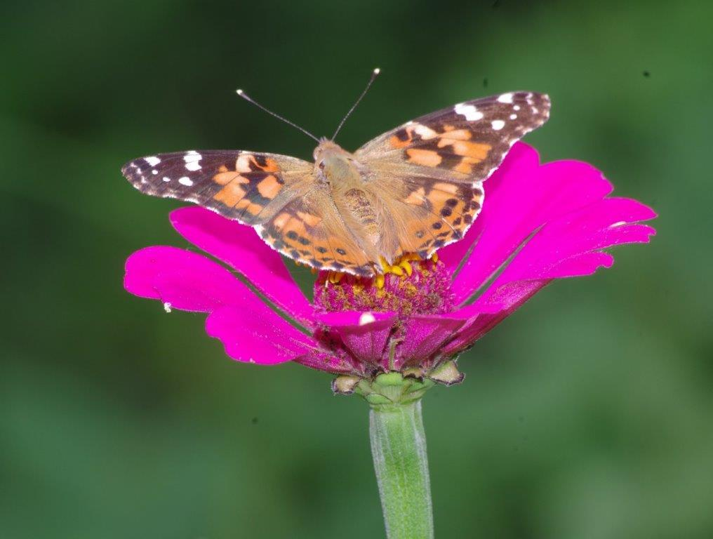 A Painted Lady butterfly feeding on nectar from a hot pink Mexican Zinnia
