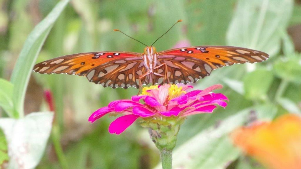 Eye-to-eye with a fair Gulf Fritillary (Agraulis vanillae) on a pink Mexican Zinnia at Allen Acres.