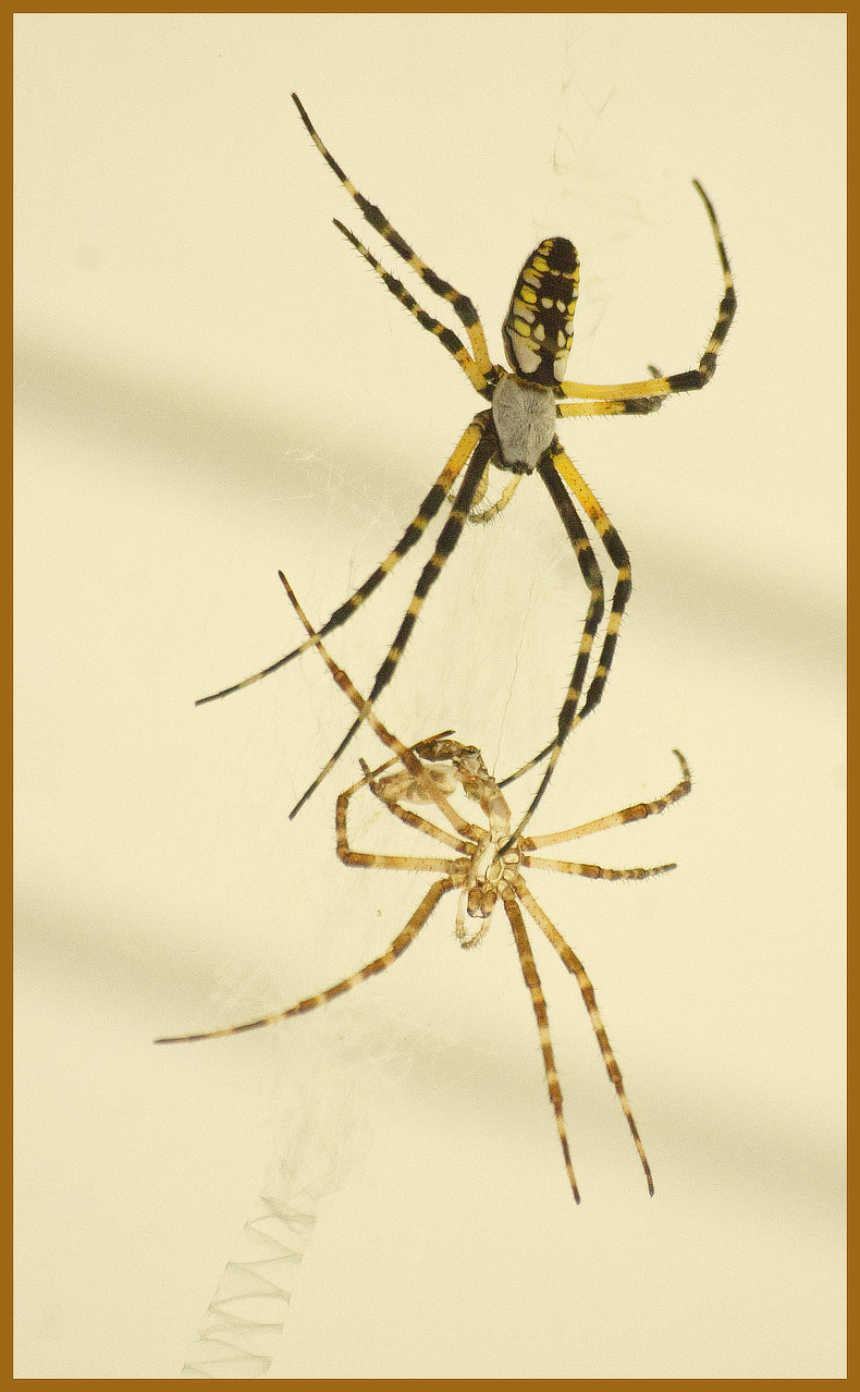 A Yellow Garden Spider, Argiope aurantia, beside its freshly shed skin.