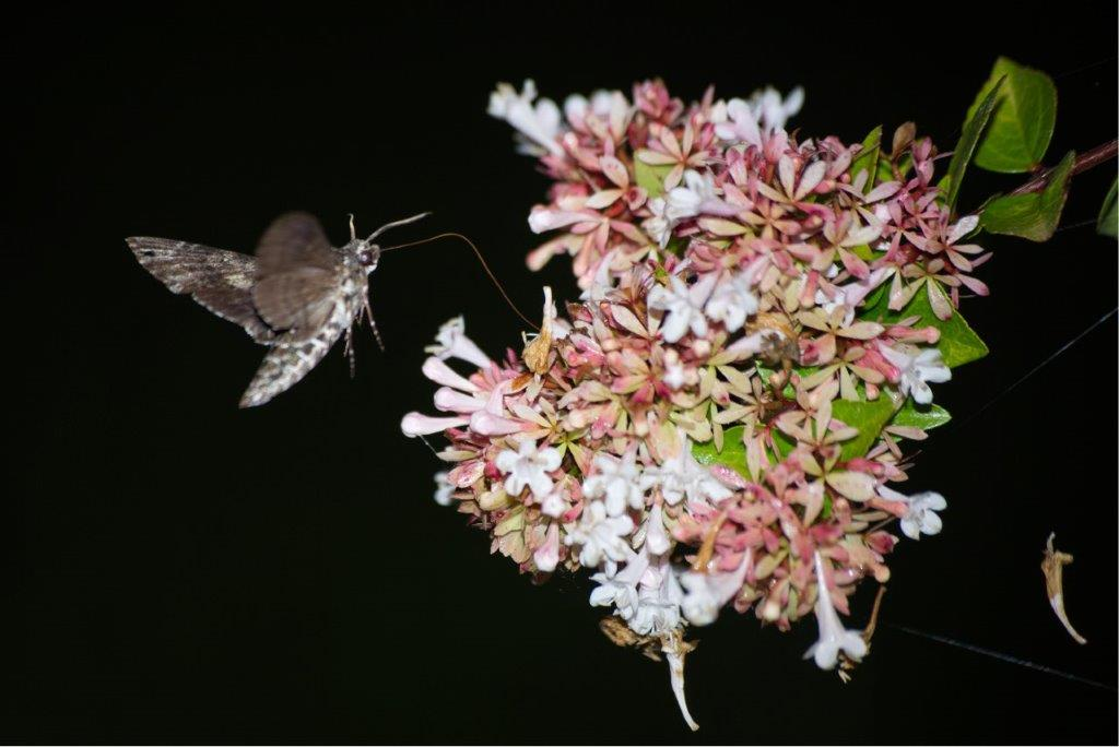 A large Sphinx moth drinking from flowers at Allen Acres B&B.
