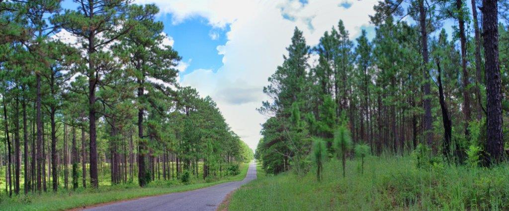 Longleaf Pine trees (Pinus palustris) in Louisiana's Kisatchie National Forest. This panorama is stitched from two photos taken on my Pentax K-1 with 28-80mm lens.